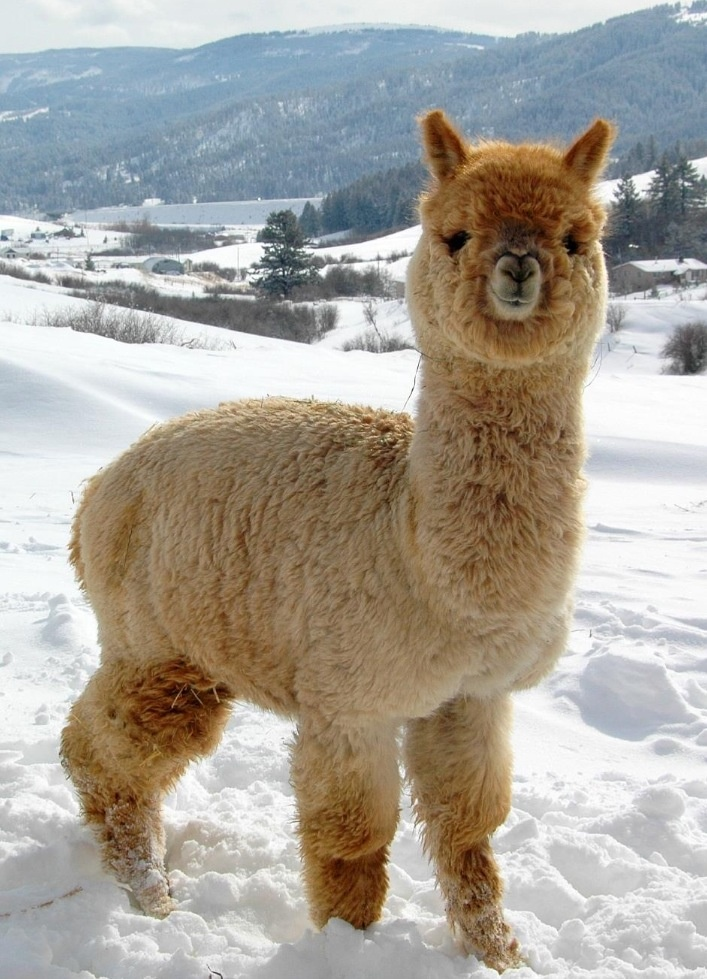 AlpacaFace.2.jpg