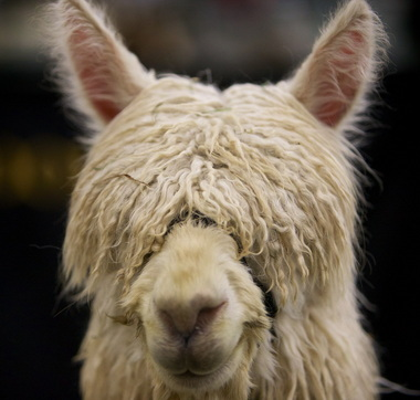 Alpaca-SuriFace.jpg