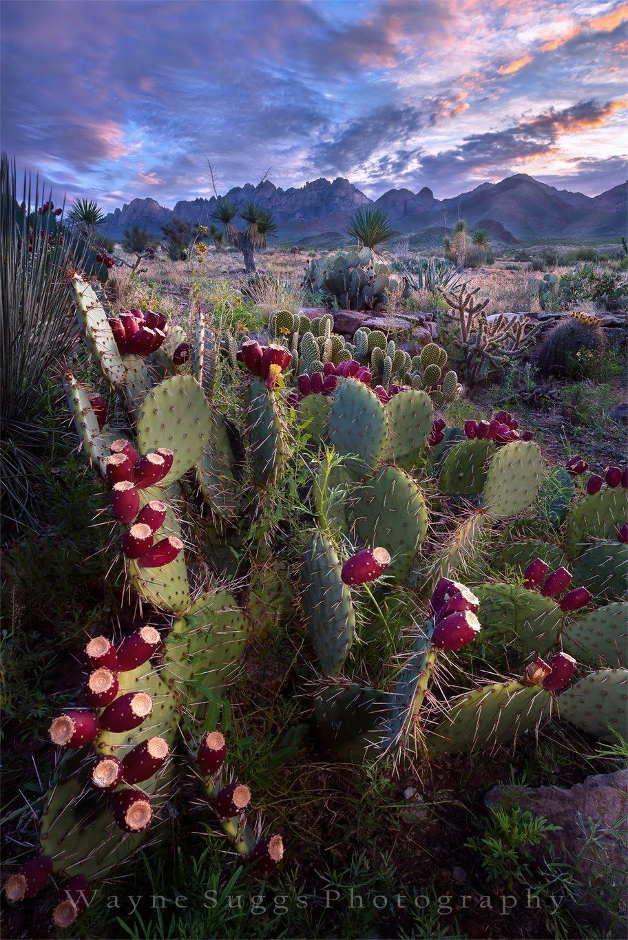 "By Wayne Suggs Photography Prickly Pear Sunrise 2016   Prickly pear lemonade anyone?   To see this and other images, or to purchase, go to:  http://waynesuggsphotography.com/ To see my book, ""The Light Never Lies"" ,  go to: http://www.blurb.com/b/6162507-the-light-never-lies"