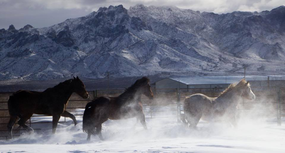 Photo by Cosetta Lewis Some of my horses playing in the snow. Deming, NM