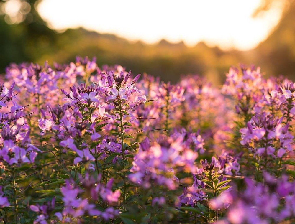 purple meadow .jpg