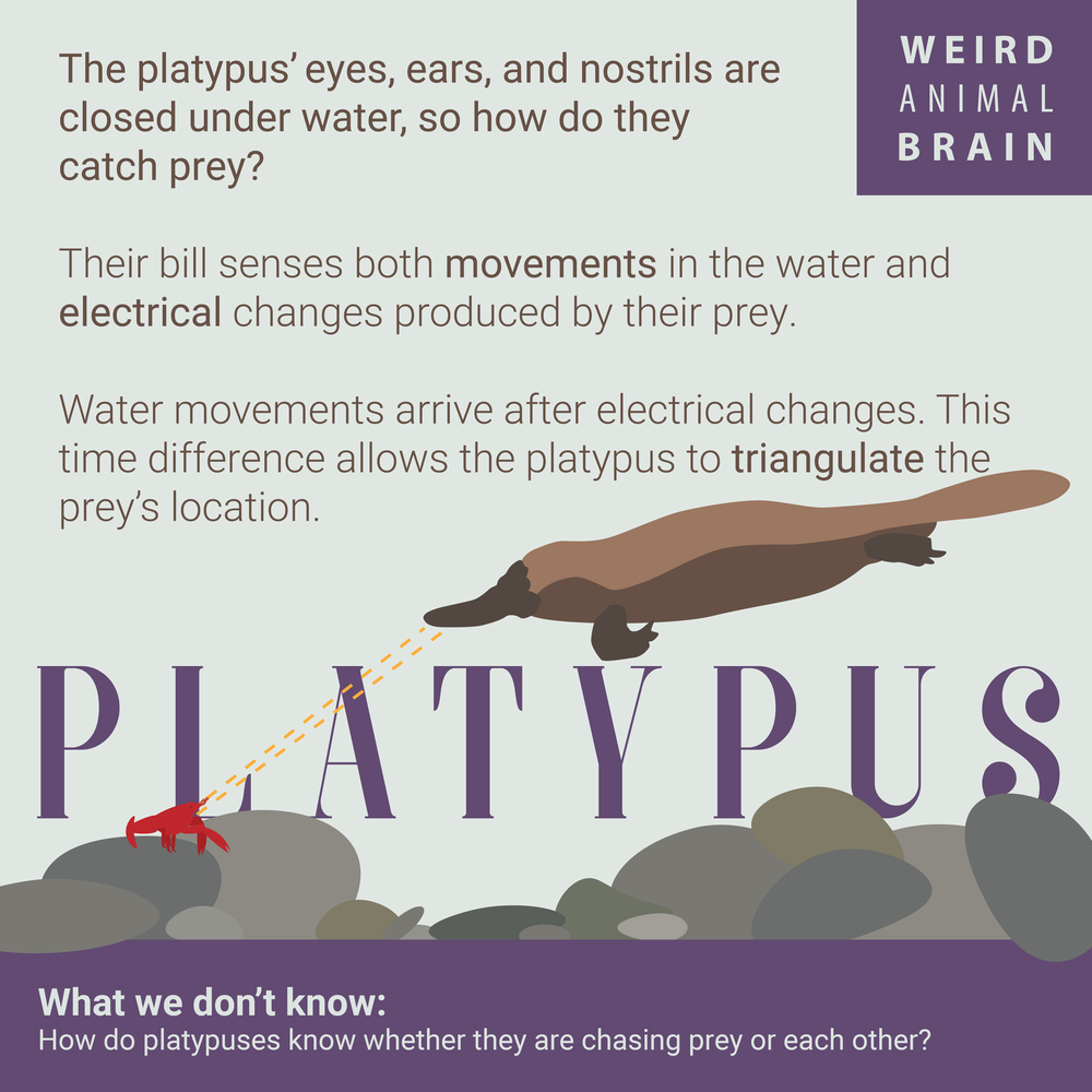 Platypus-New-01.png