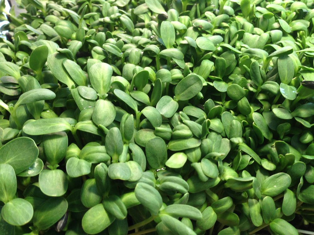 Micro Sunflower Sprouts.jpg