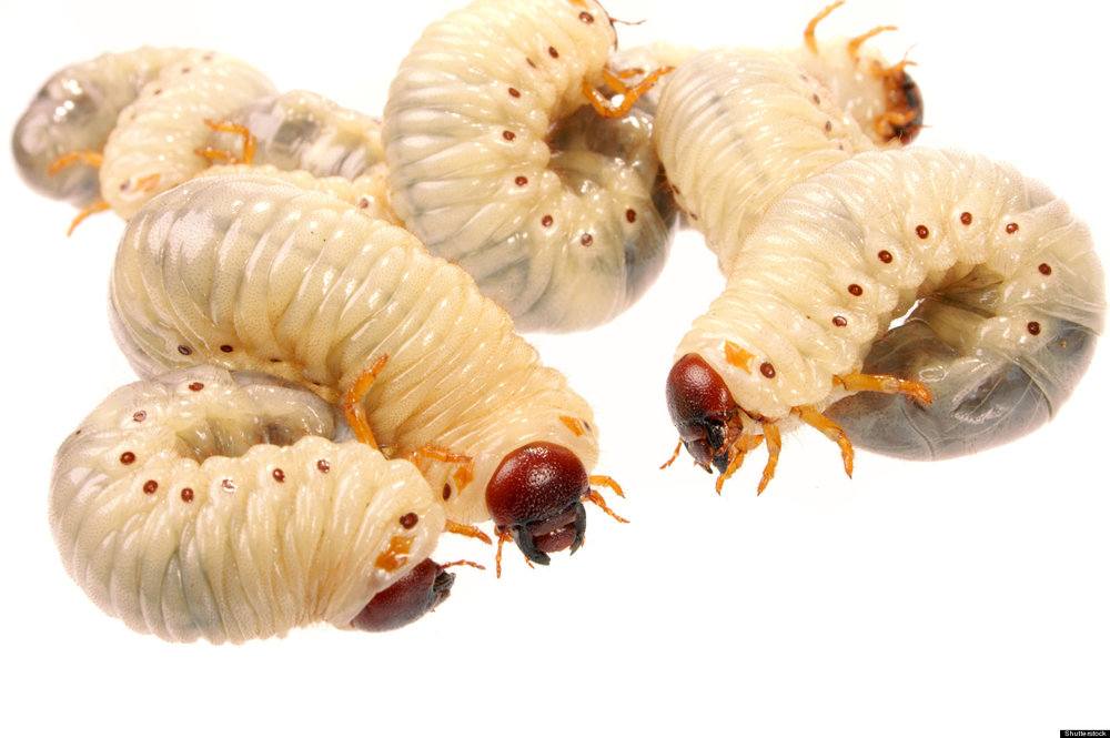 Maggots Heal