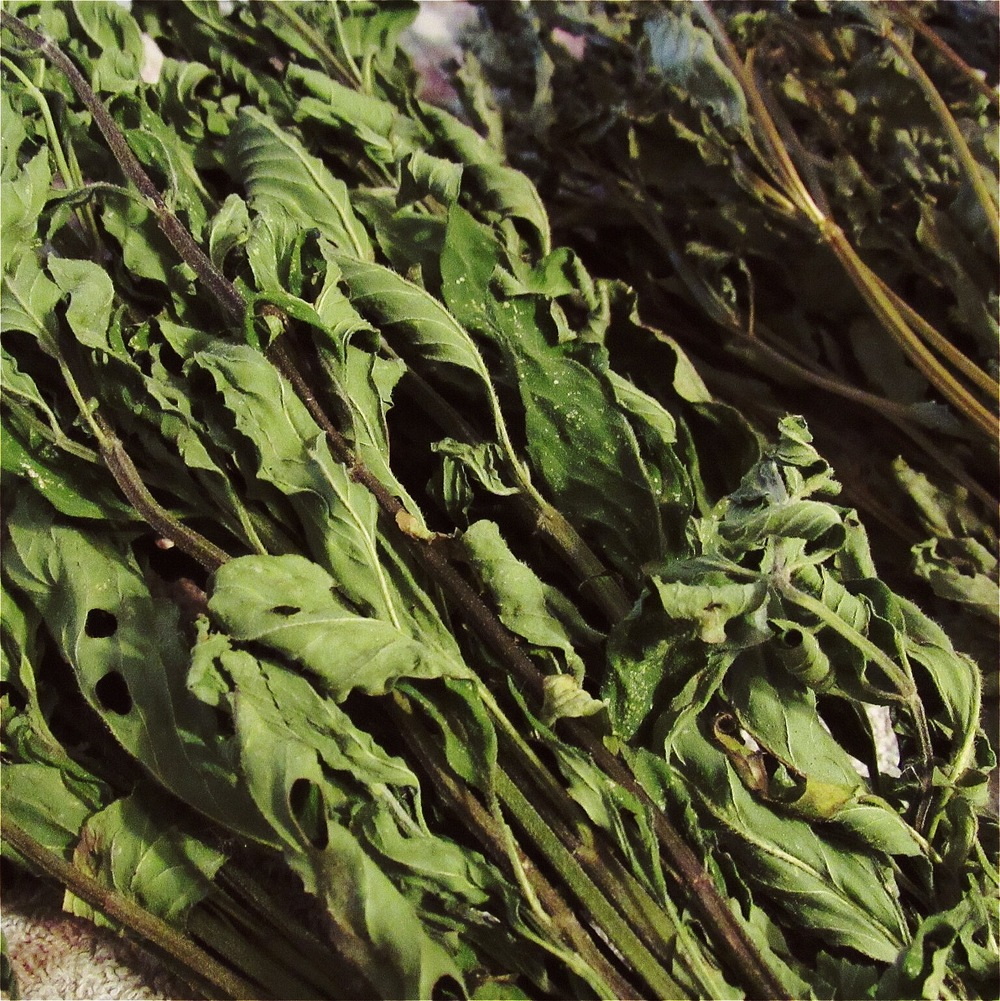 japenese mint and lemon basil dried and ready for processing