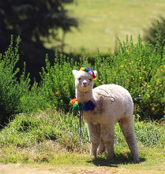 Missing this sweet little face right about now. #alpaca #cusco #peru #cuteanimals