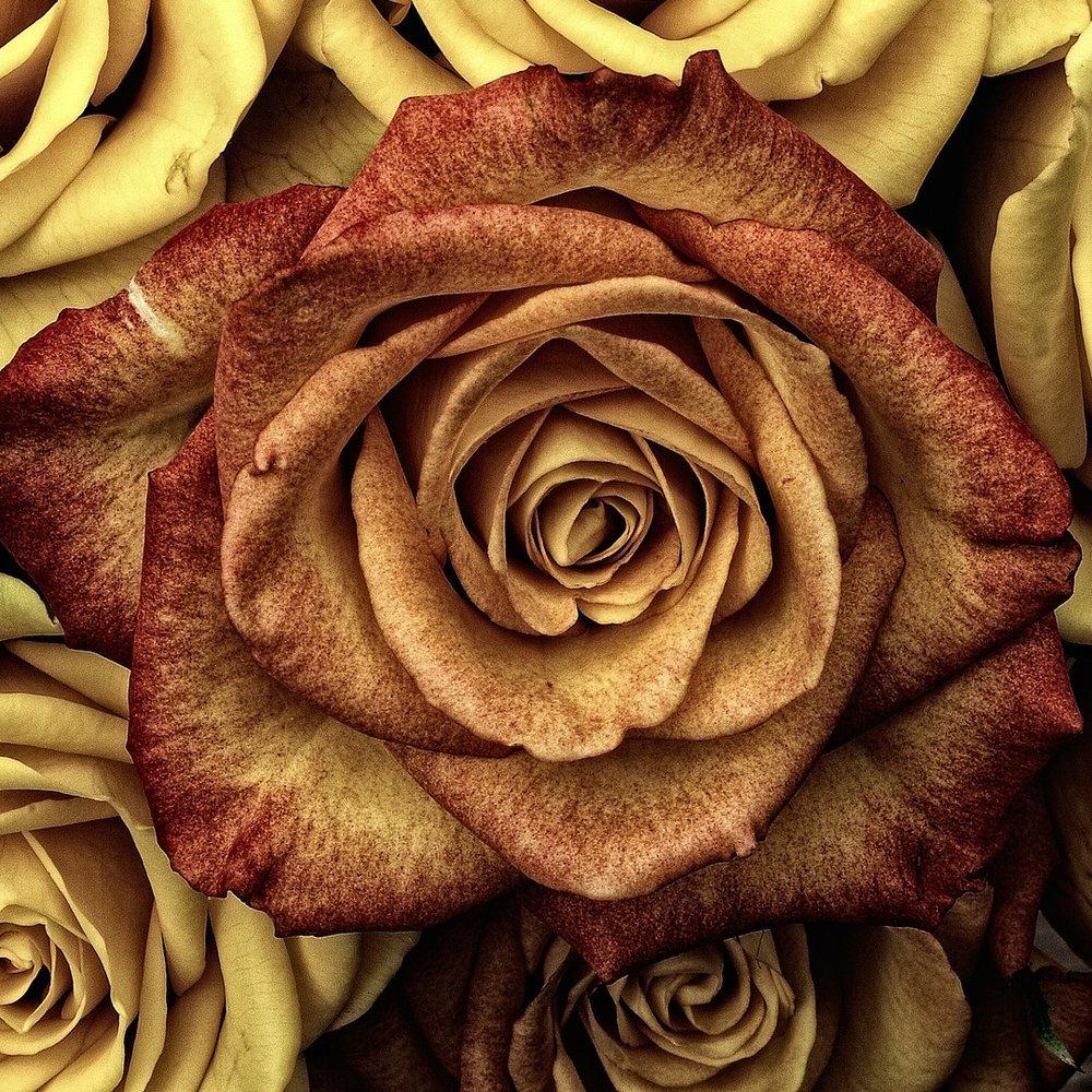 roses-66527_1920.jpg