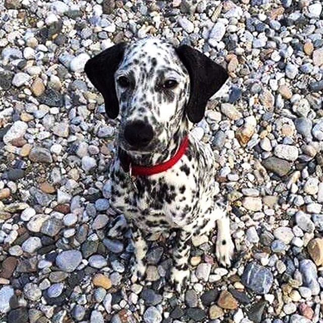 #camouflage.  ___ from @weratedogs ... #dalmatian #dogstagram
