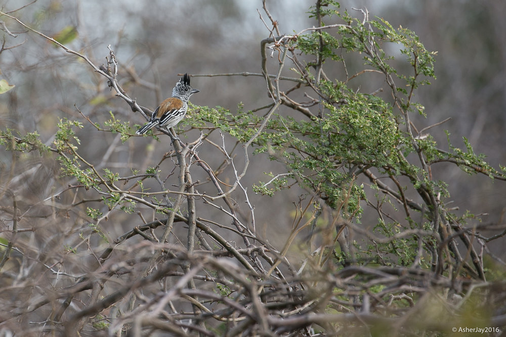 Black-crested Antshrike, because it's better to see it late than never.