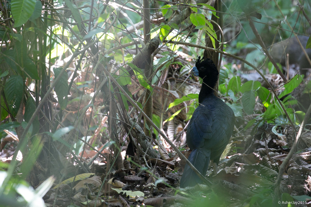 A male Blue-billed Curassow, an elusive, critically endangered ground bound bird species, the size of a turkey, in full view at the Tayrona National Park. It has been hunted incessantly by the locals for food and is thus rarely observed in the wild. I sure am glad we got to see two males and three females that day.