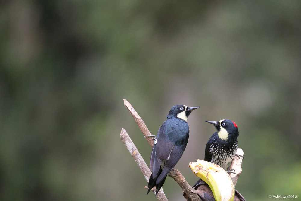 What's a banana between birds in love? A male and female Acorn Woodpecker. If they can flock together so can you.