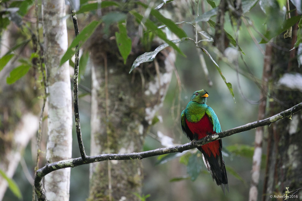 The exquisite, irreplaceable Crested Quetzal. Good heavens that's a hot bird... look at all that green...so yummy! So...