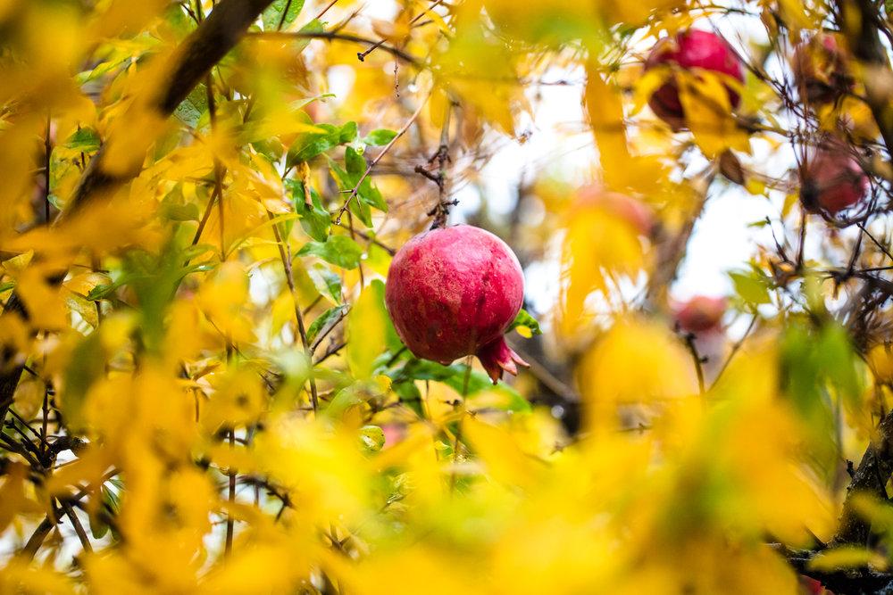 Pomegranate tree in Oakland, California