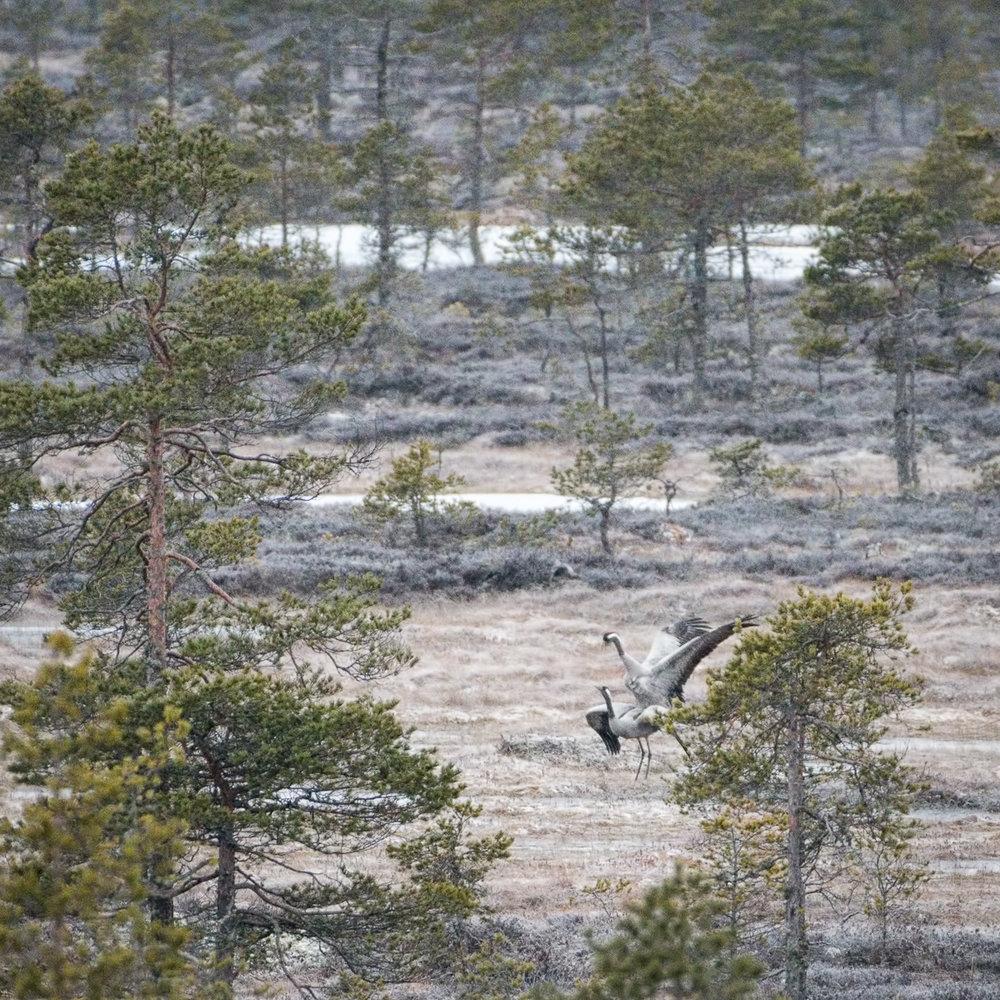 Kurkien paparazzausta lintutornista - lemmekkäät tunnelmat kestivät alle 10 sekuntia.