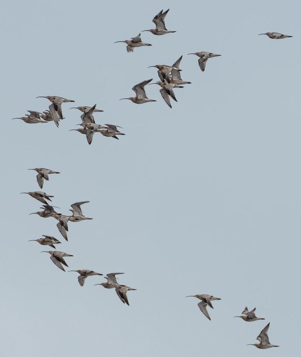 Kokonaisuudessa  pikkukuoviparvessa  oli satakunta lintua - tässä vain parven kärki. Tämä oli hieno yllätys.