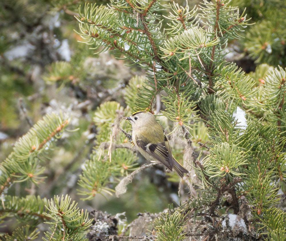 Hippiäinen on vihertävä pieni lintu jolla kirkas keltainen/keltaoranssi raita.