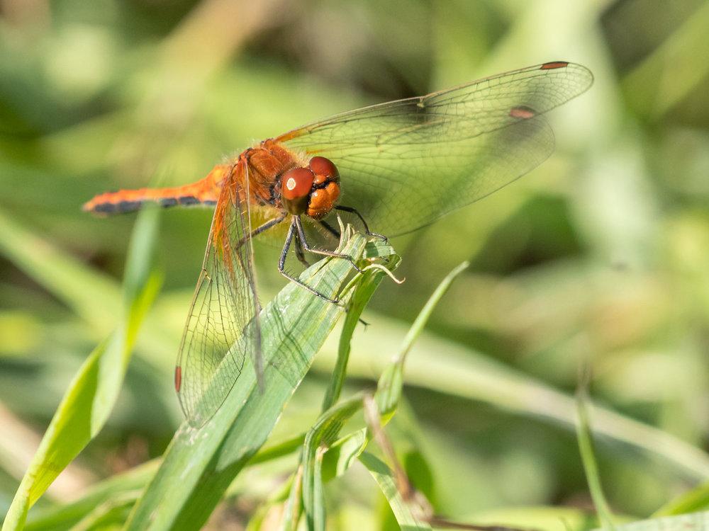 Sudenkorentoja kuvaan aina kun vain sellainen eteen sattuu. Hienoja ja värikkäitä.