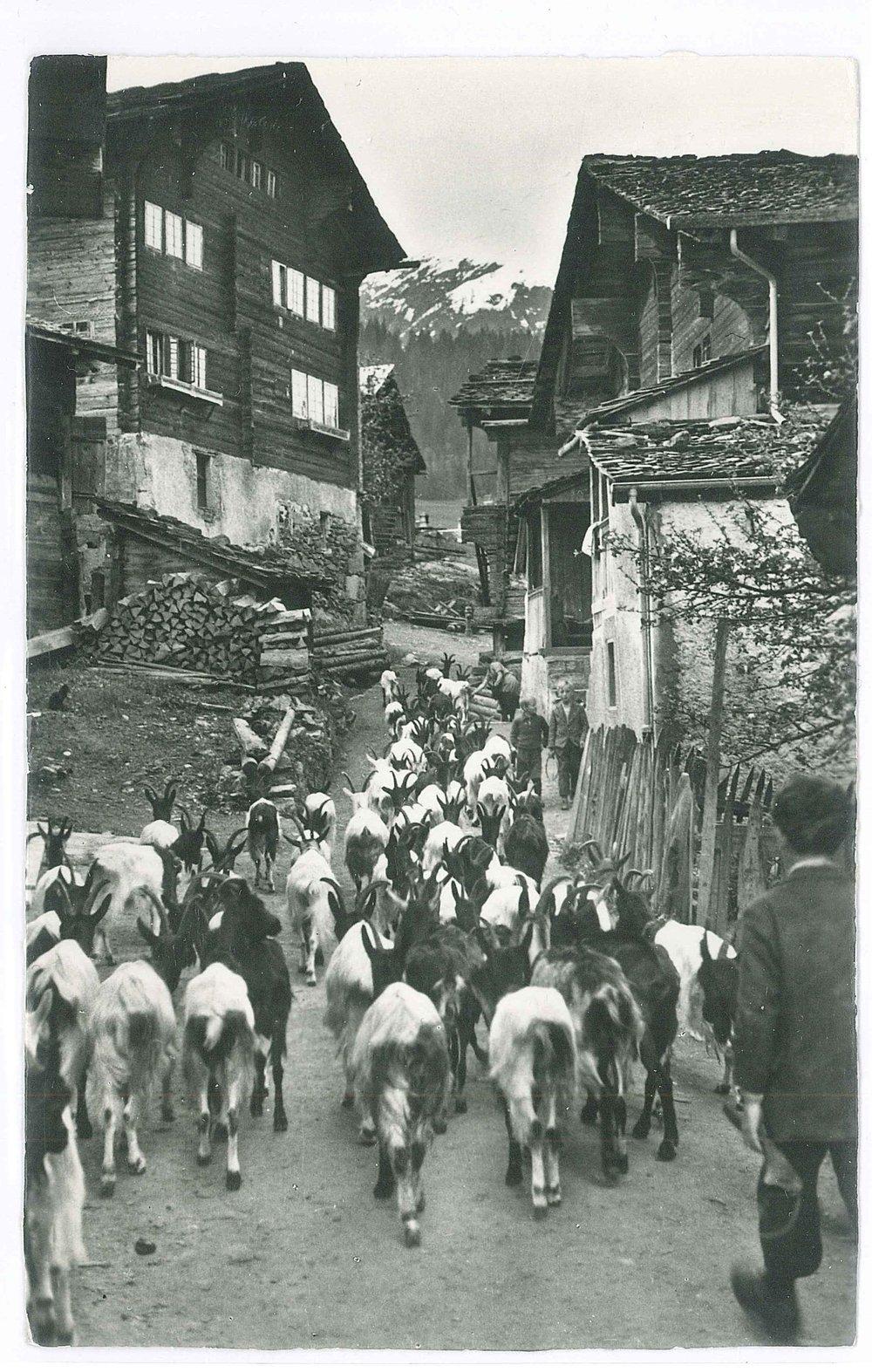 Ziegen im Dorf_postkarte 1953.jpg