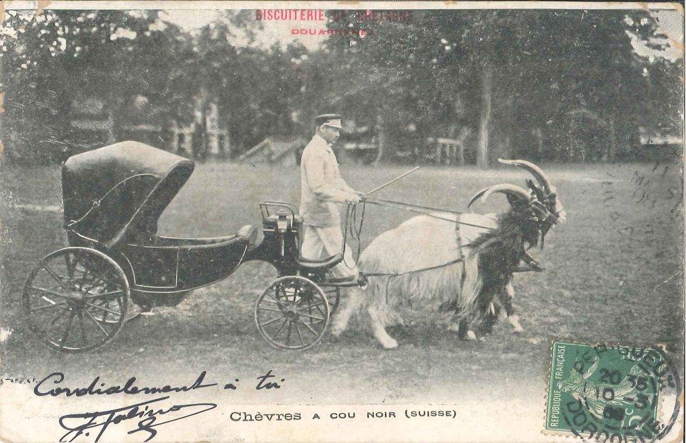 chèvre au cou noir (suisse).jpg