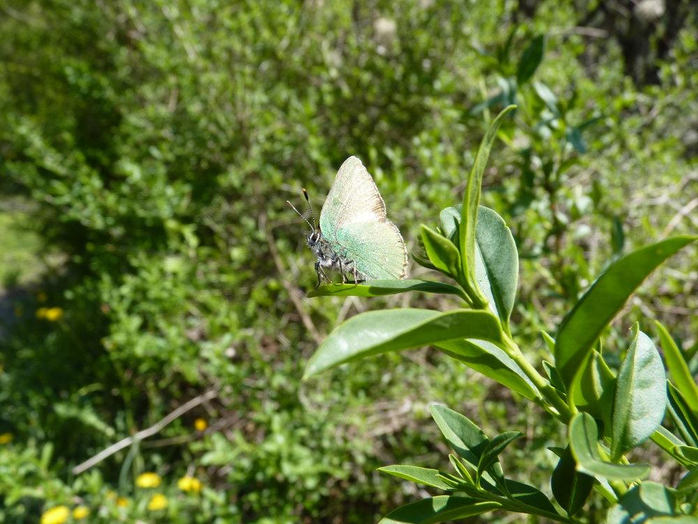 Grüner Zipfelfalter (Callophrys rubi)