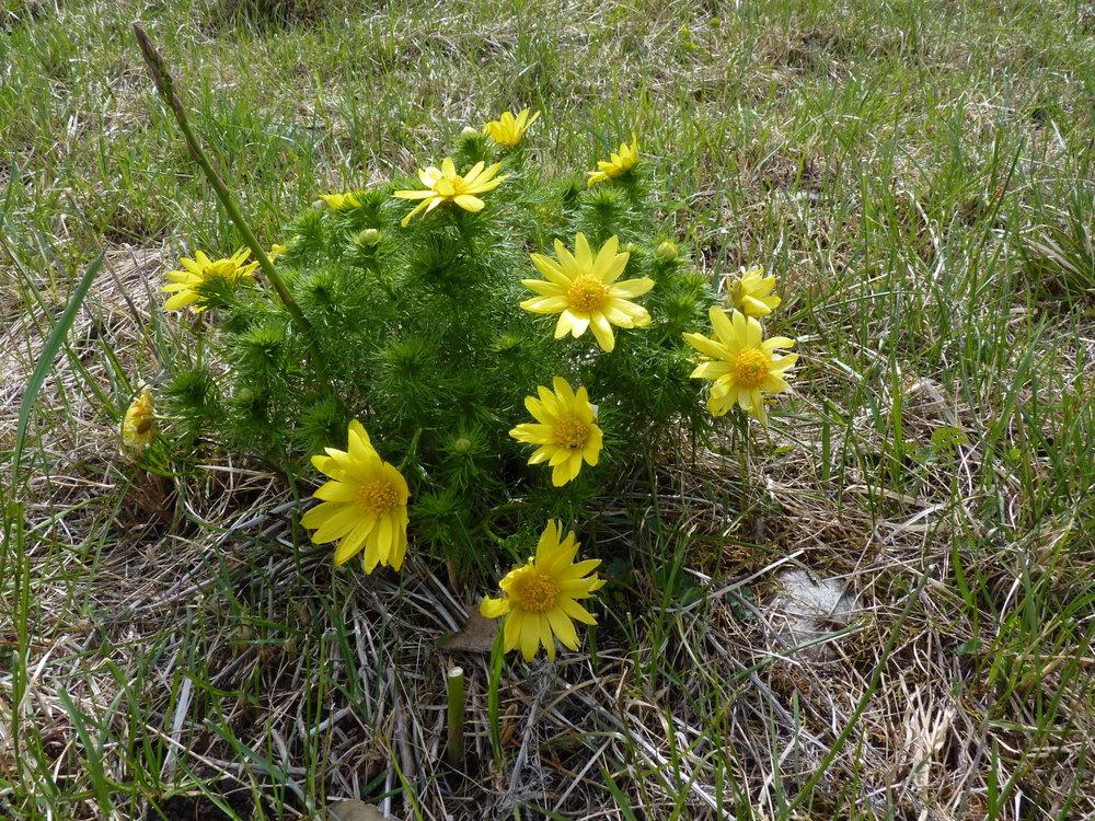 Frühlings-Adonis (Adonis vernalis)