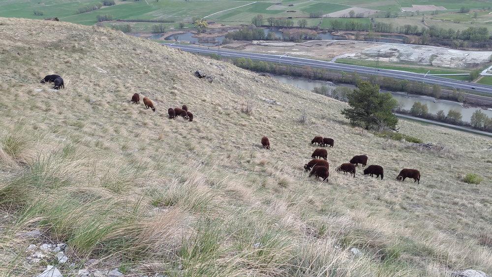 Die Walliser Landschafe pflegen die Steppe
