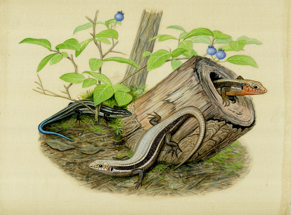 Northern Coal Skink
