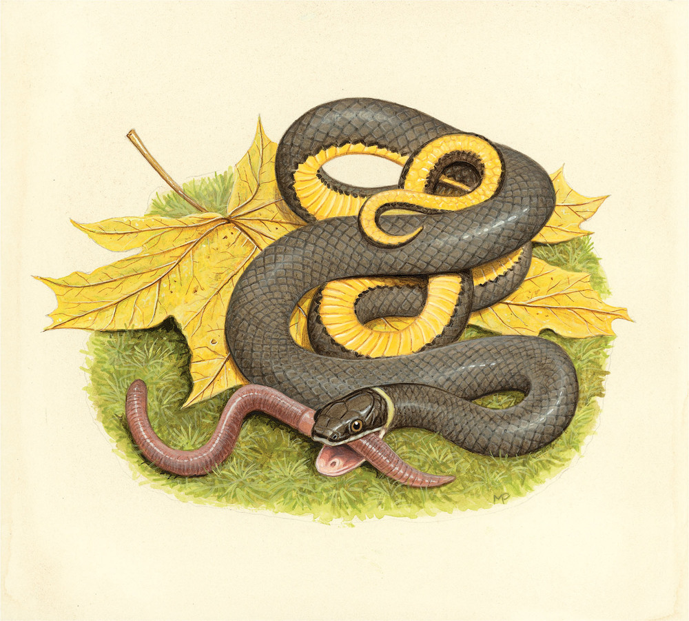 The Ring-necked Snake is the most slender snake in the region. The plain dark gray, almost black, back with smooth scales gives it a satiny appearance. A bright yellow ring around its neck joins with a bright yellow belly. The ventral surface of the tail is often reddish. A few small black dots can be seen in the center of the belly scales of the northern subspecies, Diadophis punctatus edwardsii. The southern subspecies, D. punctatus punctatus— found in southern New Jersey, the Delmarva Peninsula, and southern Virginia and south—has a central row of crescent-shaped spots on its belly scales and an incomplete ring that doesn't quite join at the base of the head. The southern subspecies is smaller than its northern cousin, reaching a maximum length of only 18.9 inches (48.0 cm). When handled, a Ring-necked Snake assumes a defensive posture, curling its tail into the shape of a spiral curly fry while exposing its brightly colored belly. In addition to two subspecies, there are ten other subspecies of Ring-necked Snake in North America. I often find members of this woodland species on rocky, second-growth forested hillsides, road cuts, or old shale borrow pits. I also expect that where I find Ring-necked Snakes, small Plethodon salamanders, one of their favorite foods, will not be far away. They also prey on earthworms, slugs, and small lizards. Ring-necked Snakes use constricting as a way to hold and kill prey. Unlike humans, who replace their baby teeth just once to grow adult teeth, Ring-necked Snakes can replace their teeth many times during their life. Most snakes have four rows of teeth on their upper jaw and two rows on their lower jaw. Their teeth point backward on their jaws toward their throat. This geometry makes it difficult for prey to escape from the snake's grasp once it is securely grasped. In the struggle with the prey, however, these delicate teeth break off easily and are swallowed. New teeth quickly replace the lost ones. The Southern Ring-necked Snake and all other subspecies, except D. punctatus edwardsii, are rear-fanged snakes that use envenomation in combination with constriction to secure their prey. The southern subspecies is only slightly venomous. Their nonaggressive nature and small, rear-pointing fangs pose little threat to humans who handle them. The rear fangs, which are the last teeth on the upper jaw, are longer than the other maxillary teeth and are connected to the Duvernoy's gland by a groove. Duvernoy's gland is in some ways analogous to the venom gland in pit vipers. But the secretions from this gland aid in swallowing and digestion rather than killing the prey.