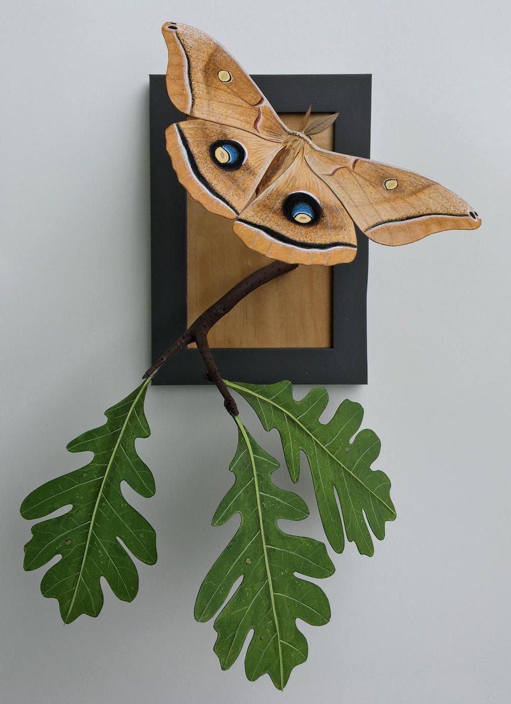 Polyphemus Moth - Gyandromorph