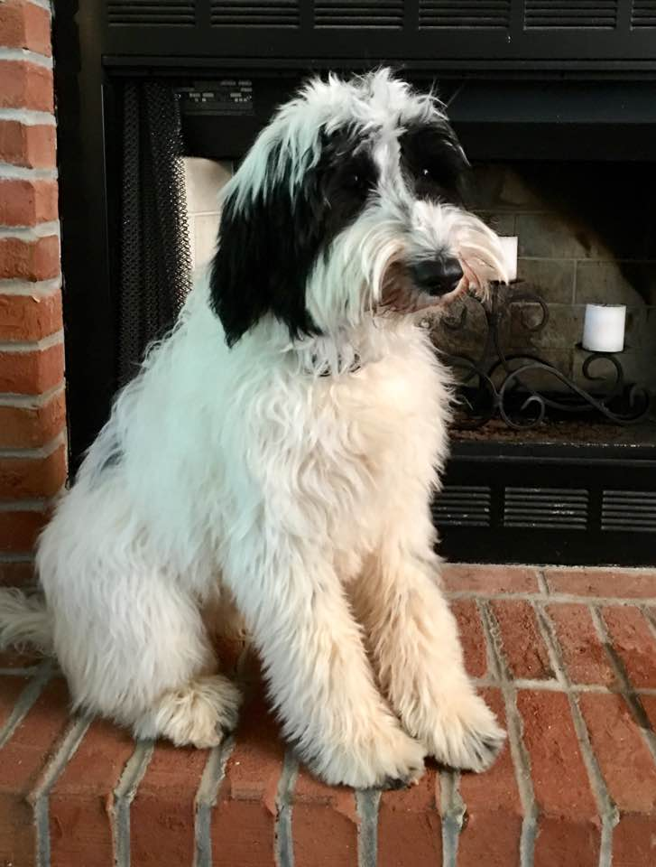 Tallulah Rose is a small medium multigeneration  English Goldendoodle.  She has good hips, cerf, heart, elbows, patellas all clear.  She is a black and white parti and carries for Chocolate. Very sweet girl.  Her first litter is planned for the first half of 2018.  She is the daughter of Annie.