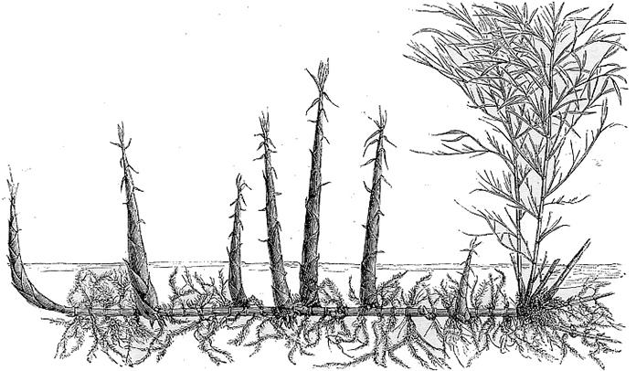 Illustration af en rhizomen.