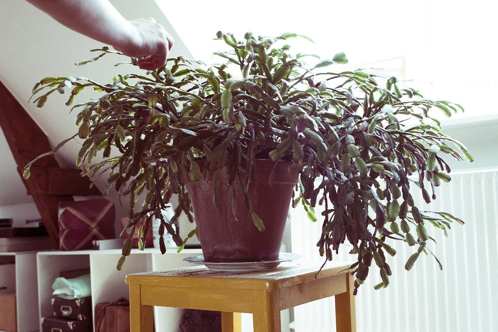 """""""En 150 år gammel plante. Den kræver ikke så meget 'plejning' og dens """"børn"""" bor hos farmor i Berlin."""""""