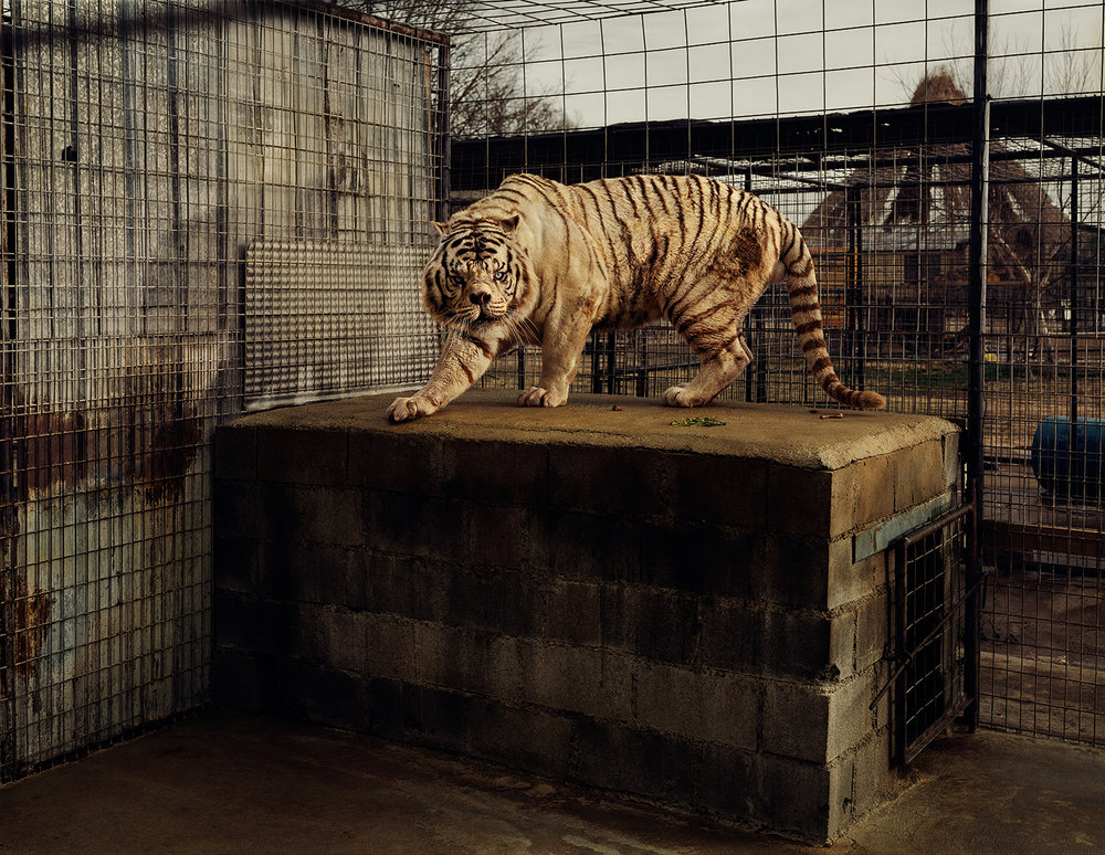 Taryn Simon, An American Index of the Hidden and Unfamiliar, 2007. Hvid tiger (Kenny), selektiv indavl. Turpentine Creek Wildlife Refuge and Foundation, Eureka Springs, Arkansas. Archival inkjet, 94,6 x 113 cm.