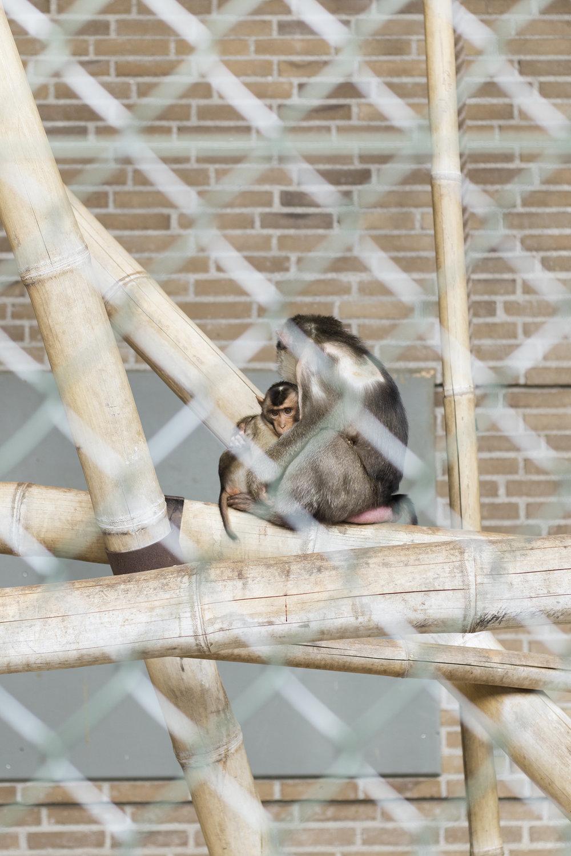 Trist abemor mangler hår på ryggen | Foto: I DO ART Agency.