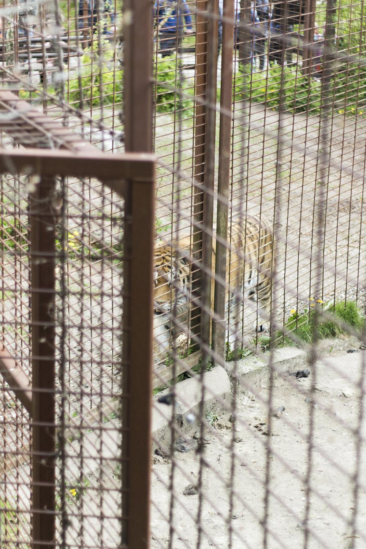 En tiger vandrer hvileløst frem og tilbage | Foto: I DO ART Agency.