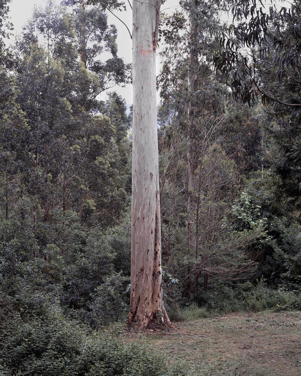 Clément Verger, Tallest tree in Europe, Karri Knight.