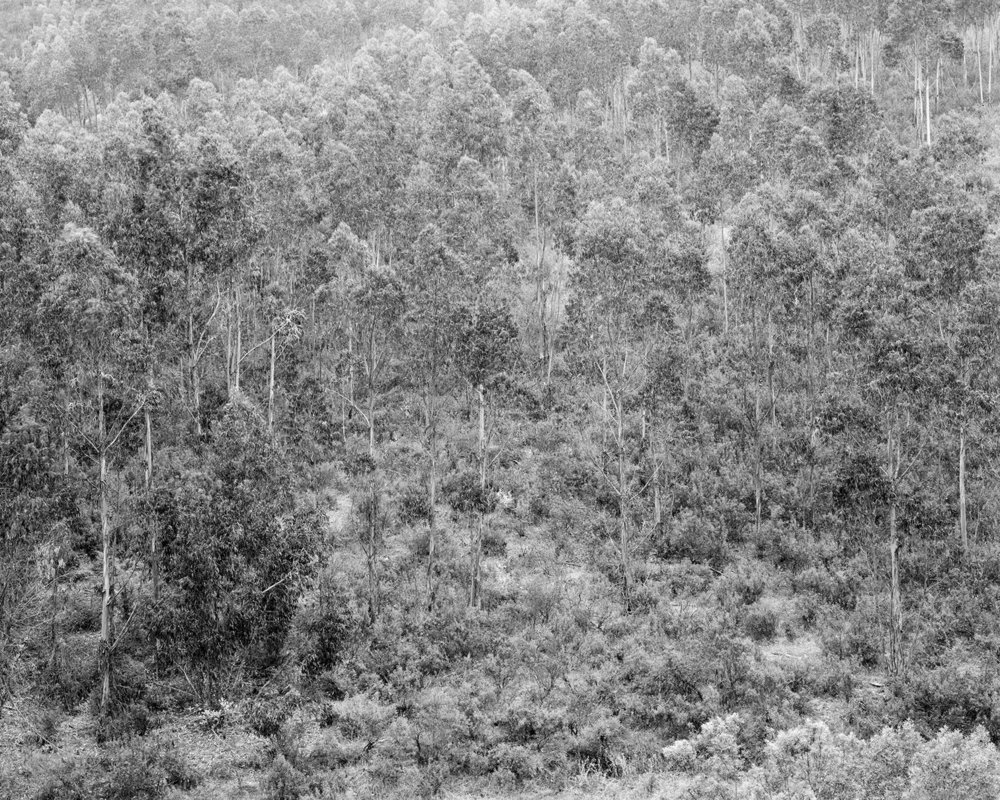 Clément Verger, Eucalyptus forest.