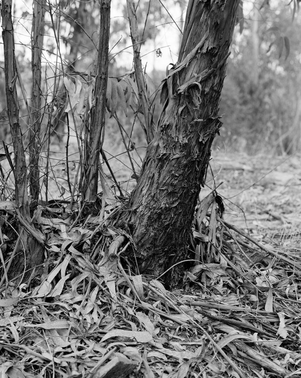 Clément Verger, Eucalyptus (eucalyptus globulus) blue gum.