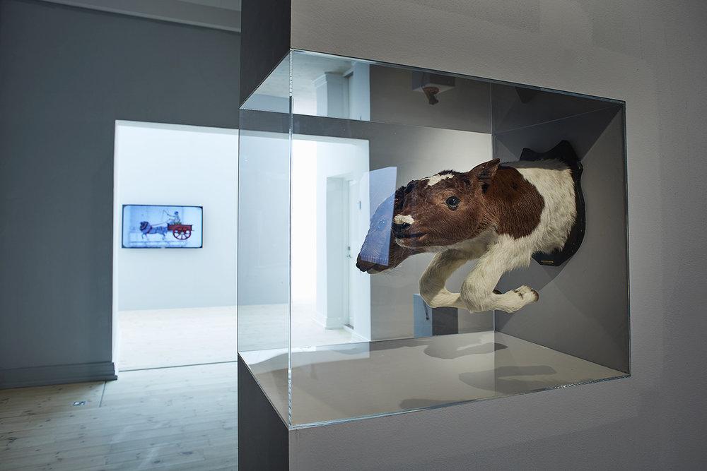 Tohovedet kalv. Udlånt fra Naturhistorisk Museum, Aarhus. Foto: Kåre Viemose.