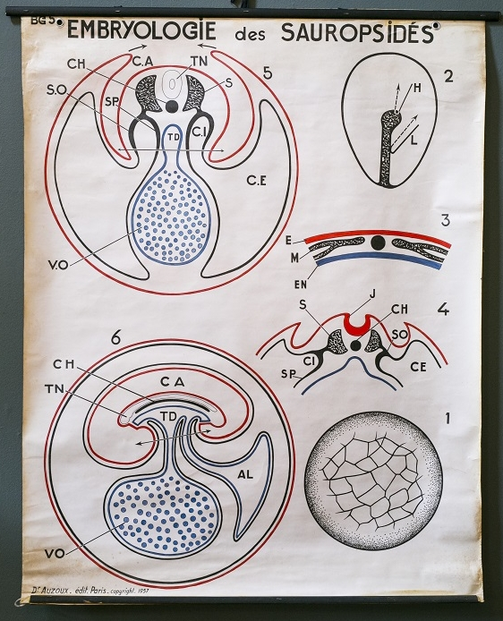 Vintage French Teaching Chart of Embryo Development