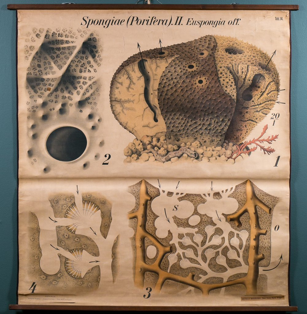 """Spongiae"" VintageChart"