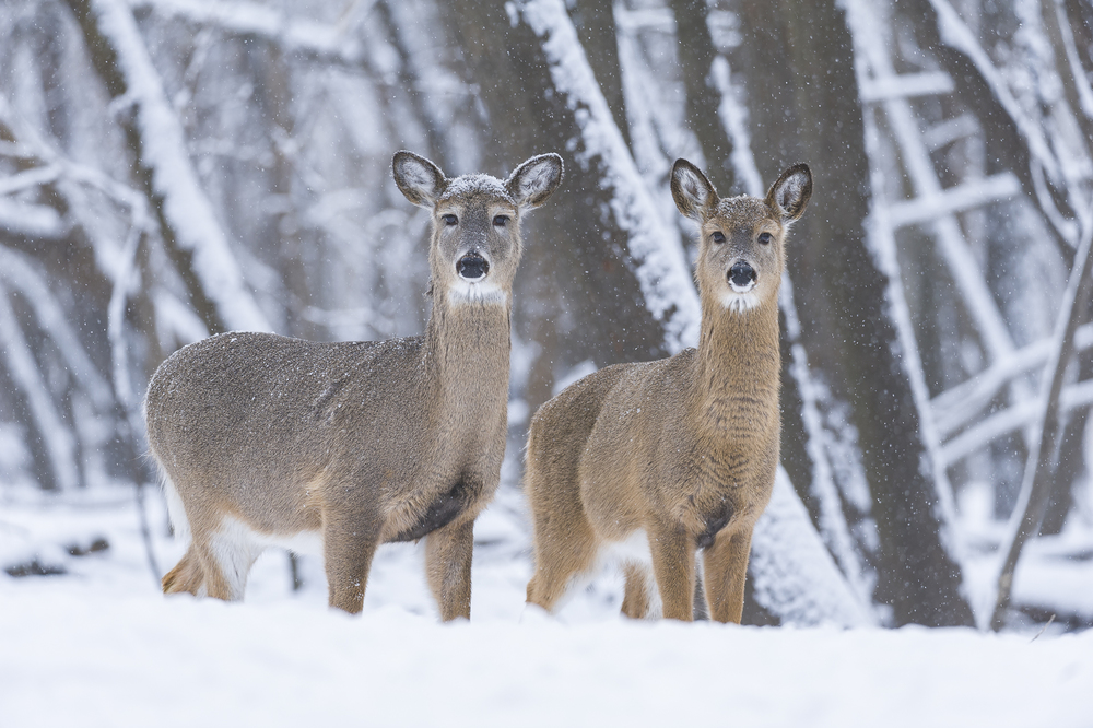 Doe and fawn in late autumn snow fall
