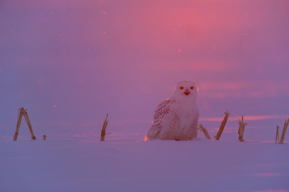 Last light: snowy owl