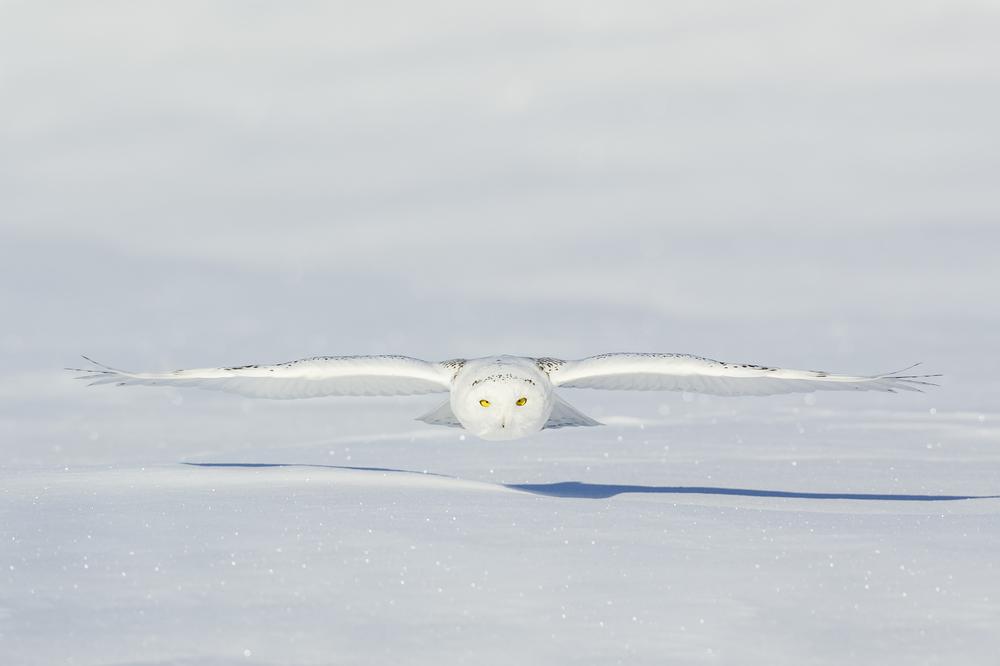 Under the radar: snowy owl
