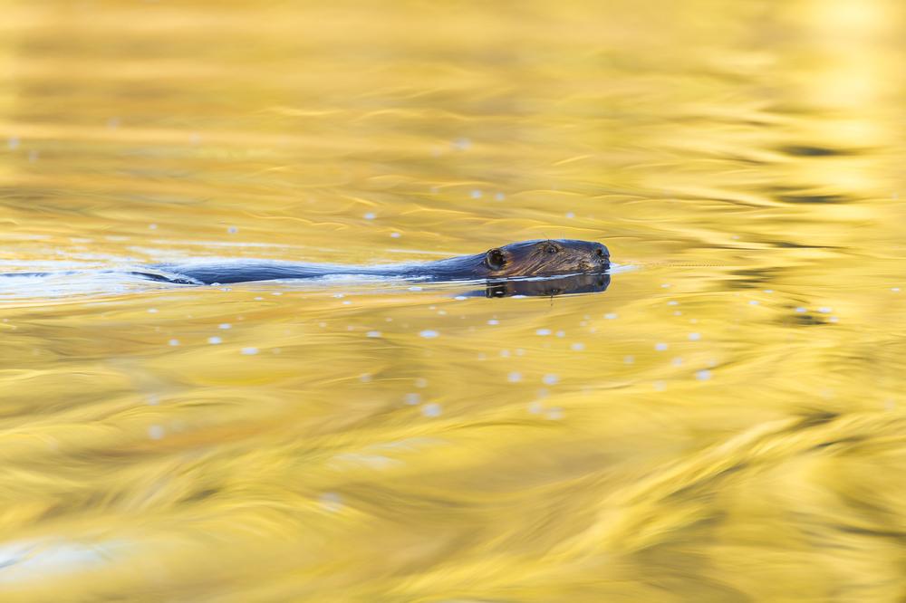 Beaver on golden pond