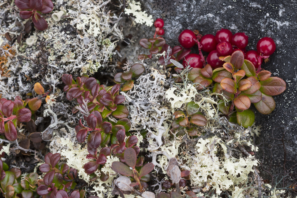 Lichen and wild cranberries. Nunavik region, Canada