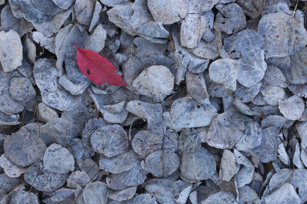 Red leaf on fallen aspen leaves