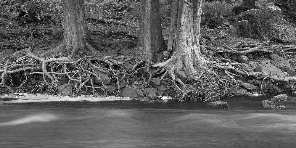 Exposed eastern white cedar roots: Gooseberry River