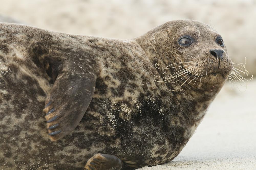 Harbor seal, La Jolla, CA.