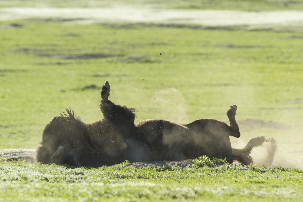 Bull bison dust bathing